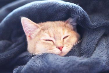 「ねおの猫。」短足マンチカンよちひこがかわいすぎると人気爆発中!